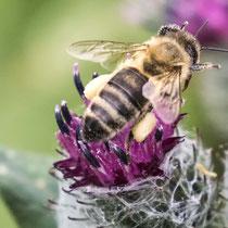 Wildbiene bei der Arbeit - Foto: Adolf Dobslaff