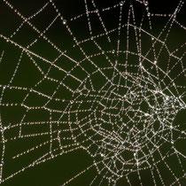 15 Spinngewebe mit Sonnentau - Hans Dieckmeyer