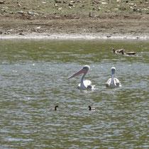 Drei Paare Wasservögel, Eritrea - Foto: Gesine Schwerdtfeger