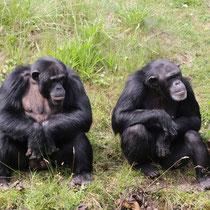 Chimpansen  -   Foto: Uta Svensson