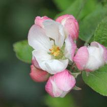 Beginnende Apfelblüte - Foto: Volker Svensson