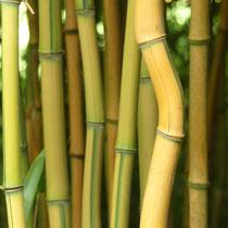 Bambus, einer tanzt aus der Reihe-Arboretum - Foto: Gesine Schwerdtfeger