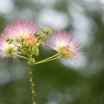 Seidenakazie, Arboretum - Foto: Gesine Schwerdtfeger