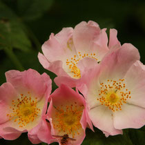 Roses are Tasty - Foto: Aida Thuresson