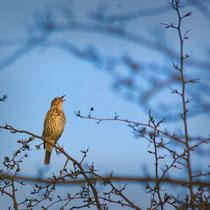 Singende Singdrossel, Boberger Niederungen - Foto: Marina Staniek