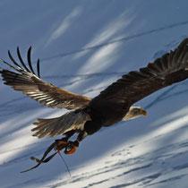 Weißkopfseeadler - Foto: Hans Dieckmeyer
