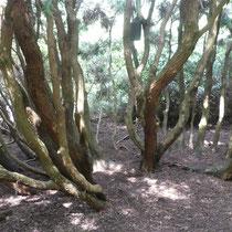 Stämme der Eibe, Arboretum - Foto: Gesine Schwerdtfeger