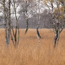 05 Birken im Wittmoor - Foto Dagmar Esfandiari