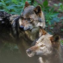 Wölfe - Foto: Lothar Boje
