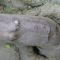 Baumgesicht mit Blatt, Arboretum - Foto: Gesine Schwerdtfeger
