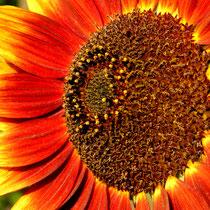 Sonnenblume - Foto: Willi Heinsohn