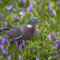 Frühlingstaube - Foto: Holger Tobuschat
