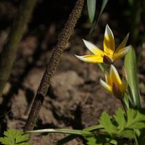019 Botanische Tulpe   -   Mai_16 - Foto: Willi Heinsohn