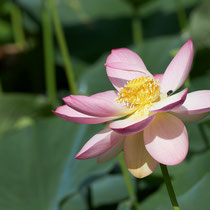 Lotusblume - Foto: Pertti Raunto