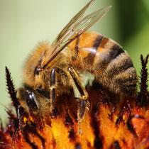 Biene auf Feuerplanet - Foto: Uta Svensson