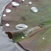 Div. Wasserläufer auf Lotusblatt, Arboretum - Foto: Gesine Schwerdtfeger