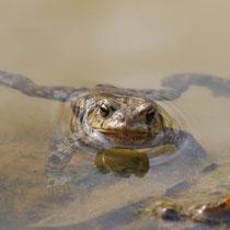 Froschspagat, Neuwiedenthaler Teich - Foto: Uta Svensson