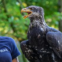 Weißkopfseeadler, Wildpark Schwarze Berge - Foto: Hans Dieckmeyer