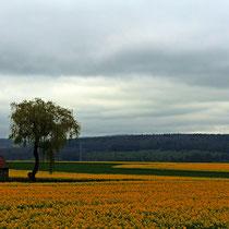 Rapsfeld - Foto: Marion Breese