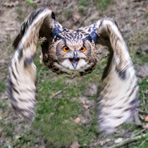 Uhu im Flug - Foto: Adolf Dobslaff