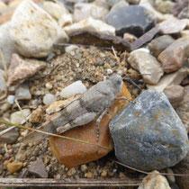 Blauflügel-Ödlandschrecke - Foto: Gesine Schwerdtfeger