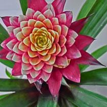 Tropical Star - Foto: Aida Thuresson