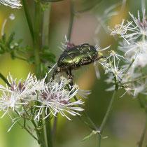 Balanceakt, goldglänzender Rosenkäfer, Cetonia aurata,auf akeleiblätriger Wiesenraute, Gesine Schwerdtfeger