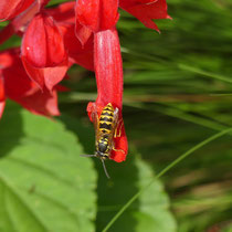 Wespe auf Blüte, Arboretum - Foto: Gesine Schwerdtfeger