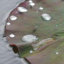 8. Platz 178 Pkt. Wassertropfen auf Lotusblatt - Foto: Gesine Schwerdtfeger