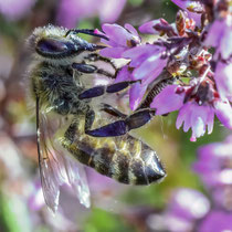 Wildbiene an der Besenheide - Foto: Adolf Dobslaff