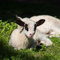Lamm - Foto: Holger Tobuschat