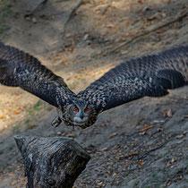 Uhu, Wildpark Schwarze Berge - Foto: Hans Dieckmeyer