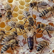 Bienenkönigin mit ihren Untertanen Foto: Hans Dieckmeyer