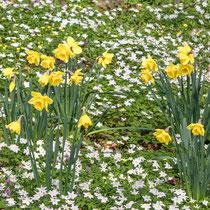 Weiße und gelbe Buschwindröschen, Narzissen, Lerchensporn - Foto: Adolf Dobslaff