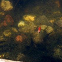 077 Dieser Tümpel soll eine Sumpfzone werden, ohne Goldfisch   -   Juli_16 - Foto: Willi Heinsohn