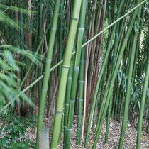 Bambus, Arboretum - Foto: Pertti Raunto