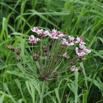 72 Schwanenblume Blütenstand   -   2016_07_30_Uta_Svensson