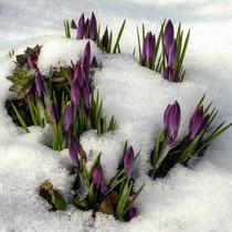 Frühlingsboten - Foto: Hans Dieckmeyer