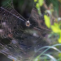 Spinnennetz, Kreetortteich- Foto: Volker Svensson
