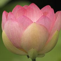 11 Lotus- Foto: Dagmar Esfandiari