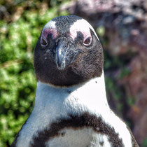 Pinguin - Foto: Michael Wohl-Iffland