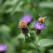 051 Wiesenflockenblume mit Hummel   -   Juli_16 - Foto: Willi Heinsohn