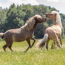 Zankende Pferde, Ketzendorf - Foto: Pertti Raunto