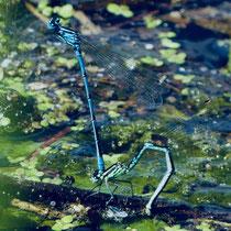 Becher-Azurjungfer im Moorgürtel - Foto: Elvira Lütt