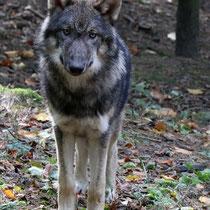 Jungwolf, Wildpark Schwarze Berge - Foto: Uta Svensson