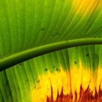 Bananenblatt im Gegenlicht - Foto: Willi Heinsohn