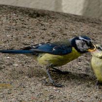 Blaumeise füttert Junges - Foto: Hans Dieckmeyer