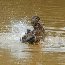 Ente, Neuwiedenthaler Teich - Foto: Volker Svensson