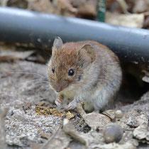 Maus, Dörverden - Foto: Uta Svensson