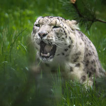 Schneeleopard, Wildpark Lüneburger Heide - Foto: Adolf Dobslaff